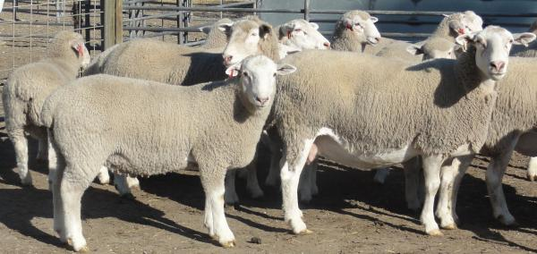 K.D. Wooled Composite ewes and lambs ready to wean at 12 weeks