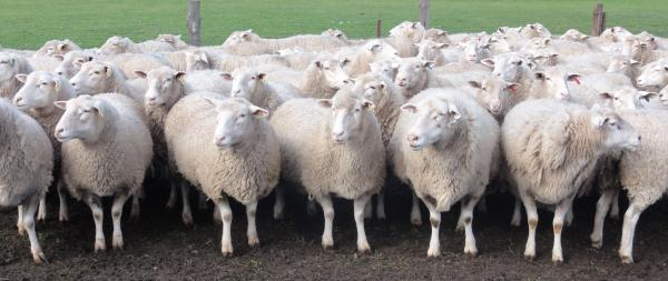 K.D. Wooled Composite ewes pre lambing